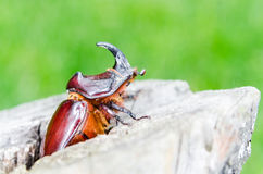 Rhinoceros beetle (Oryctes nasicornis) on wooden stub with green Stock Images
