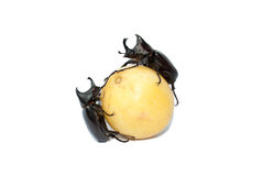 Rhinoceros beetle, Rhino beetle, Hercules beetle, Unicorn beetle.  Stock Photography
