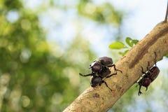 Rhinoceros beetle, Rhino beetle, Hercules beetle, Unicorn beetle Stock Image