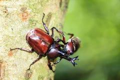 Rhinoceros beetle, Rhino beetle, Hercules beetle, Unicorn beetle Royalty Free Stock Photography