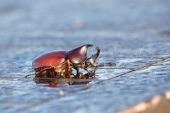 Rhinoceros beetle, Rhino beetle, Hercules beetle, Unicorn beetle, Horn beetle Royalty Free Stock Images