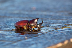 Rhinoceros beetle, Rhino beetle, Hercules beetle, Unicorn beetle, Horn beetle  . Indonesia Stock Photo