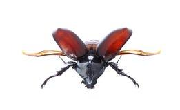 Rhinoceros beetle, Rhino beetle, Hercules beetle, Unicorn beetle Stock Images
