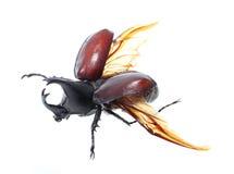 Rhinoceros beetle, Rhino beetle, Hercules beetle, Unicorn beetle Royalty Free Stock Photos
