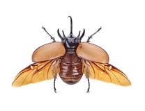 Rhinoceros beetle, Rhino beetle, Hercules beetle, Unicorn beetle.  Royalty Free Stock Photo
