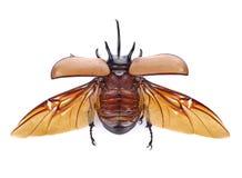 Rhinoceros beetle, Rhino beetle, Hercules beetle, Unicorn beetle.  Royalty Free Stock Photos