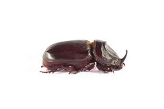 Rhinoceros beetle, Rhino beetle, Hercules beetle Royalty Free Stock Photography