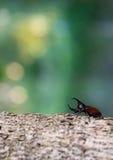 Rhinoceros beetle Stock Photography