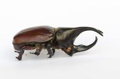 Rhinoceros beetle. Rhino beetle, Hercules beetle, Unicorn beetle, Horn beetlewhite background Stock Image