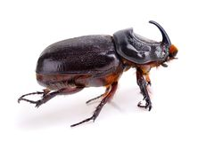 Rhinoceros beetle. In Thailand isolated on white background Stock Photos