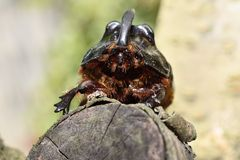 Rhinoceros beetle. On a tree trunk Stock Images