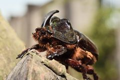 Rhinoceros beetle. On a tree trunk Stock Photography