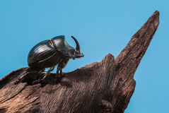 Rhinoceros beetle on trunk mangrove wood and blue background Royalty Free Stock Photography