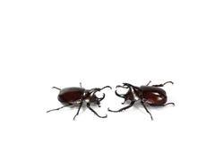 Rhinoceros  beetle. On white background Stock Images
