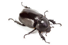 Rhinoceros beetle. On white background Stock Photos