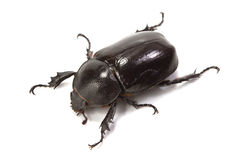 Rhinoceros beetle. On white background Royalty Free Stock Image