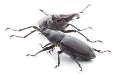 Rhinoceros beetle on white Royalty Free Stock Photography