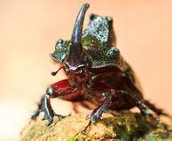 Rhinoceros beetle Royalty Free Stock Image