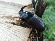 Rhinoceros Beetle Stock Images