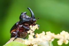Rhinoceros Beetle (Oryctes nasicornis) on green leaf Royalty Free Stock Photo