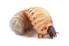 Rhinoceros beetle Xylotrupes gideon, larva on white background Royalty Free Stock Image