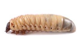 Rhinoceros beetle Xylotrupes gideon, larva on white background Stock Photo