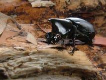 Rhinoceros Beetle | Xylotrupes Ulysses. Australian rhinoceros beetle on natural gum leaf litter on forest floor Stock Photos