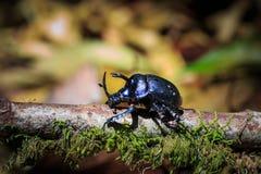 Rhinoceros beetles stock photos