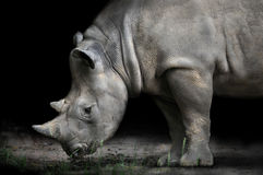 Rhinoceros Bending Down To Eat Stock Photo