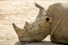 Rhinoceros. Black Rhinoceros in ZOO 2016 Royalty Free Stock Photography