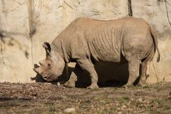Rhinoceros at Brookfield Zoo. In Brookfield, Illinois stock photography