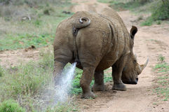 Rhinoceros bull marking his territory Royalty Free Stock Photo