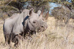 Rhinoceros in the bush Stock Photography