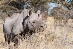 Rhinoceros in the bush Stock Photography