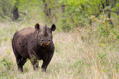 Rhinoceros in the Bush in South Africa Royalty Free Stock Photos