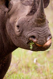 Rhinoceros in the Bush in South Africa Stock Photography