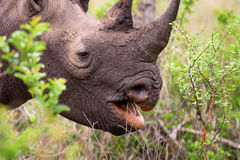 Rhinoceros in the Bush in South Africa. Rhinoceros at the Jackalberry Safari Lodge in the Thornybush Private Game Reserve, Limpopo Province, South Africa Stock Photo