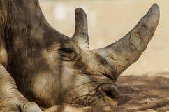 5Rhinoceros & x28;Ceratotherium simum& x29;. Rhinoceros & x28;Ceratotherium simum& x29; also known as square-lipped rhinoceros living in natural habitat Royalty Free Stock Photo