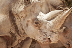 Rhinoceros (Ceratotherium simum) closeup Royalty Free Stock Images