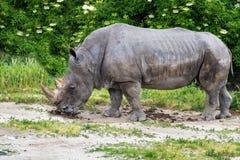 Rhinoceros Ceratotherium simum eating green grass. Rhinoceros Ceratotherium simum eating grass Stock Photo