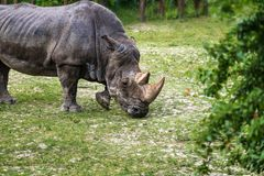 Rhinoceros Ceratotherium simum eating green grass. Rhinoceros Ceratotherium simum eating  green grass Royalty Free Stock Photos