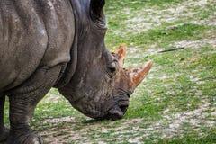 Rhinoceros Ceratotherium simum eating green grass. Rhinoceros Ceratotherium simum eating  green grass Stock Photography