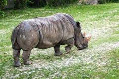 Rhinoceros Ceratotherium simum eating green grass. Rhinoceros Ceratotherium simum eating  green grass Stock Photo