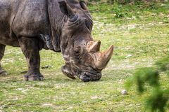 Rhinoceros Ceratotherium simum eating green grass. Rhinoceros Ceratotherium simum eating grass Stock Image