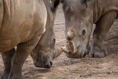 Rhinoceros (Ceratotherium Simum) head to head - khonkaenzoo, Tha Royalty Free Stock Images