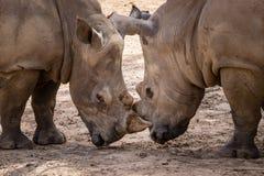 Rhinoceros (Ceratotherium Simum) head to head - khonkaenzoo, Tha Royalty Free Stock Photo