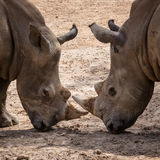Rhinoceros (Ceratotherium Simum) head to head - khonkaenzoo, Tha Stock Photo