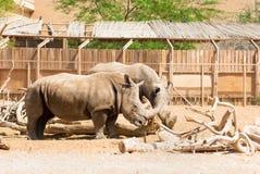 Rhinoceros & x28;Ceratotherium simum& x29;. Rhinoceros & x28;Ceratotherium simum& x29; also known as square-lipped rhinoceros living in natural habitat Royalty Free Stock Image