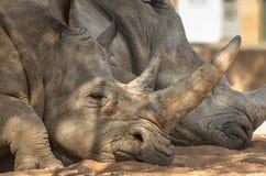 Rhinoceros & x28;Ceratotherium simum& x29;. Rhinoceros & x28;Ceratotherium simum& x29; also known as square-lipped rhinoceros living in natural habitat Royalty Free Stock Images