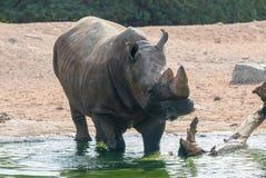 Rhinoceros & x28;Ceratotherium simum& x29;. Rhinoceros & x28;Ceratotherium simum& x29; also known as square-lipped rhinoceros walking into the pond Stock Photo